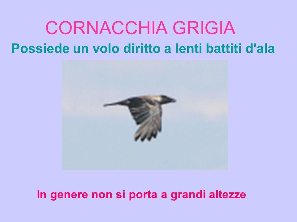 CORNACCHIA GRIGIA Possiede un volo diritto a lenti battiti d ala