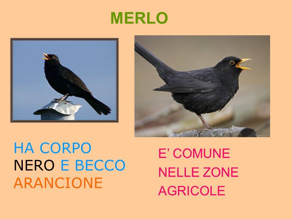 MERLO HA CORPO NERO E BECCO ARANCIONE E' COMUNE NELLE ZONE AGRICOLE