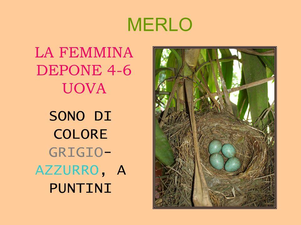 MERLO LA FEMMINA DEPONE 4-6 UOVA