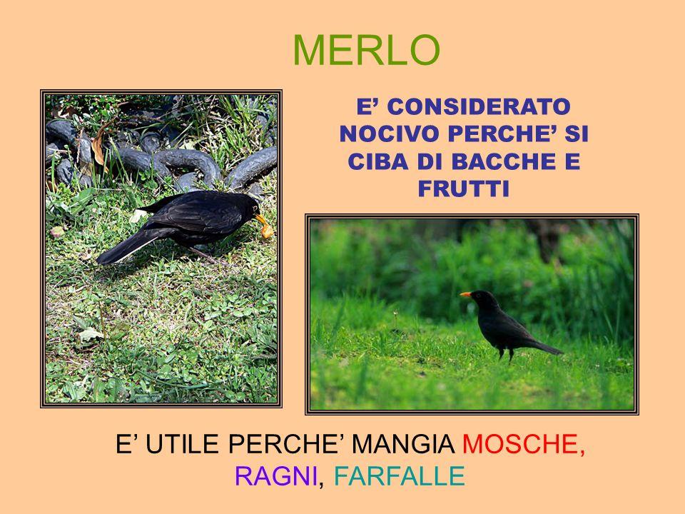 MERLO E' UTILE PERCHE' MANGIA MOSCHE, RAGNI, FARFALLE