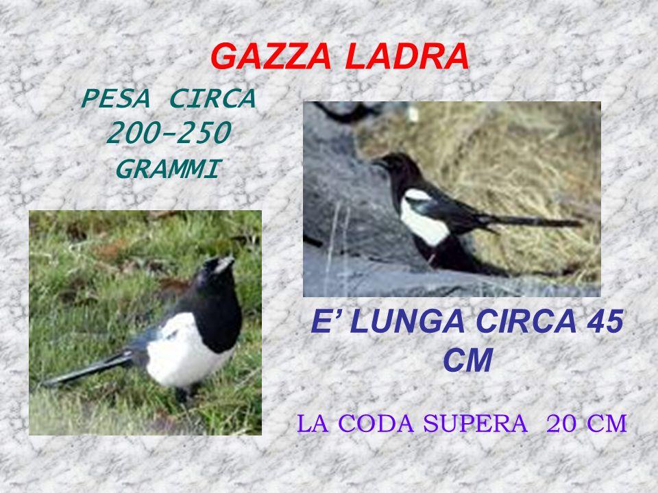 GAZZA LADRA E' LUNGA CIRCA 45 CM PESA CIRCA 200-250 GRAMMI