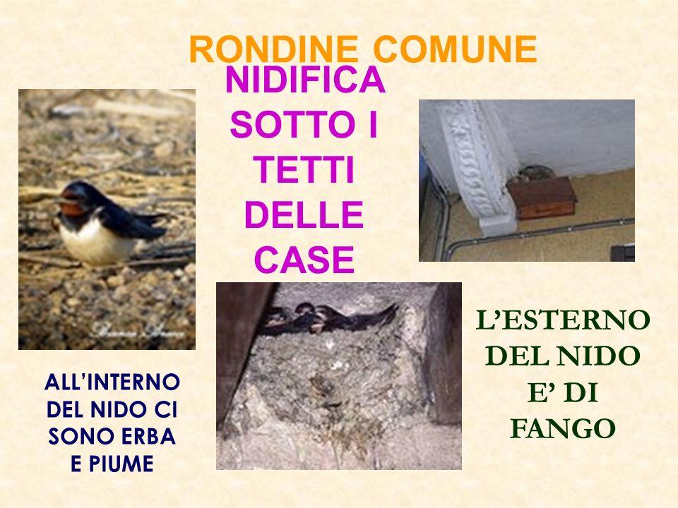 NIDIFICA SOTTO I TETTI DELLE CASE