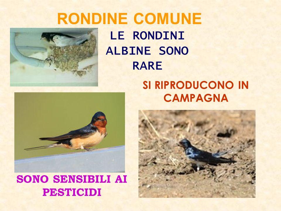 RONDINE COMUNE LE RONDINI ALBINE SONO RARE SI RIPRODUCONO IN CAMPAGNA