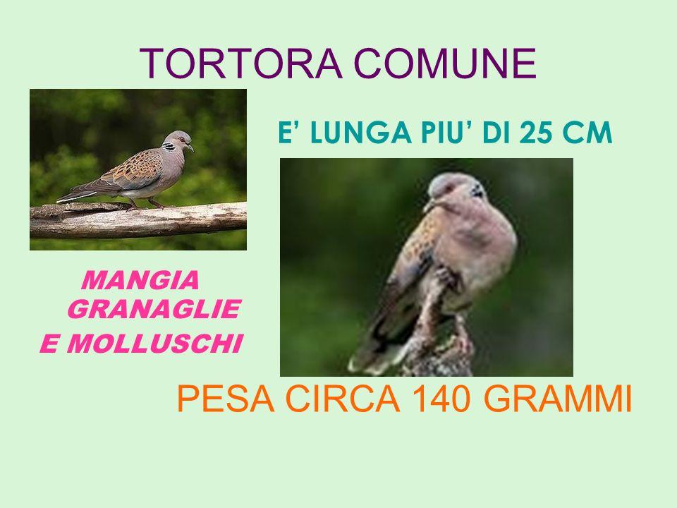 TORTORA COMUNE PESA CIRCA 140 GRAMMI E' LUNGA PIU' DI 25 CM