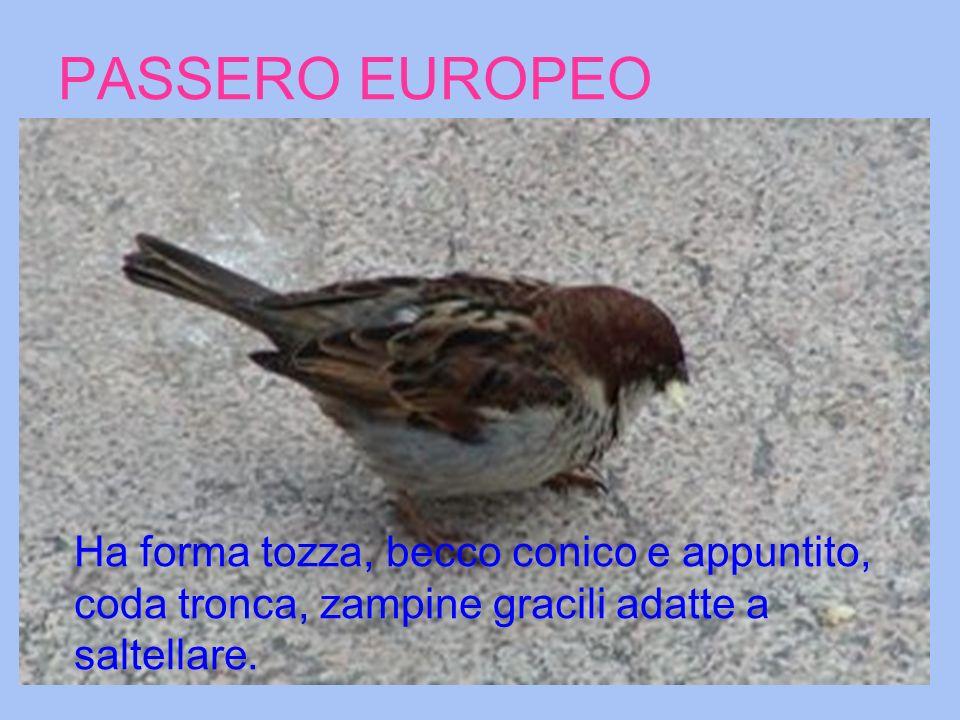 PASSERO EUROPEO Ha forma tozza, becco conico e appuntito, coda tronca, zampine gracili adatte a saltellare.