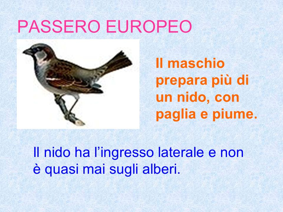 PASSERO EUROPEO Il maschio prepara più di un nido, con paglia e piume.