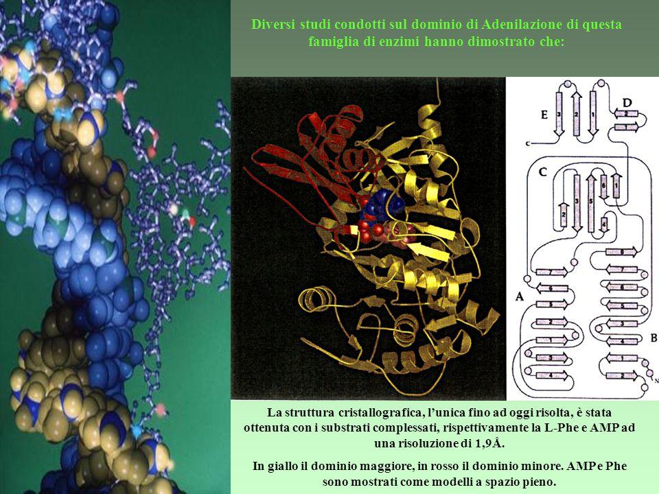 Diversi studi condotti sul dominio di Adenilazione di questa famiglia di enzimi hanno dimostrato che:
