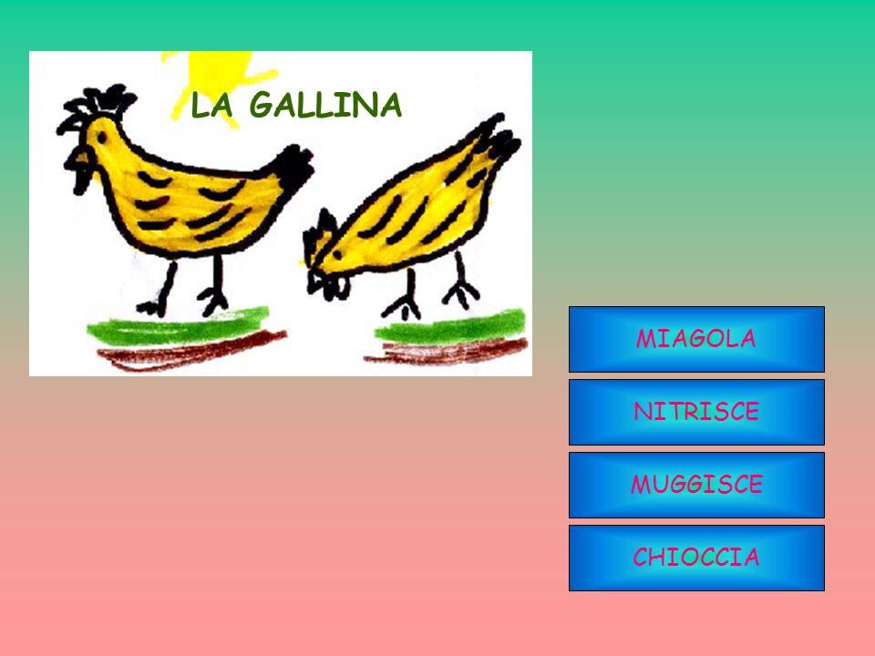 LA GALLINA MIAGOLA NITRISCE MUGGISCE CHIOCCIA