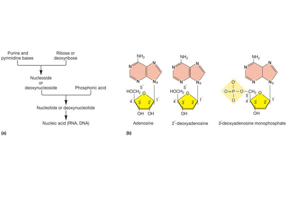 Sottolineare i diversi elementi chimici presenti nei nucleotidi