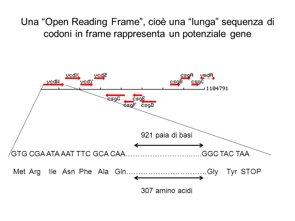 Una Open Reading Frame , cioè una lunga sequenza di codoni in frame rappresenta un potenziale gene