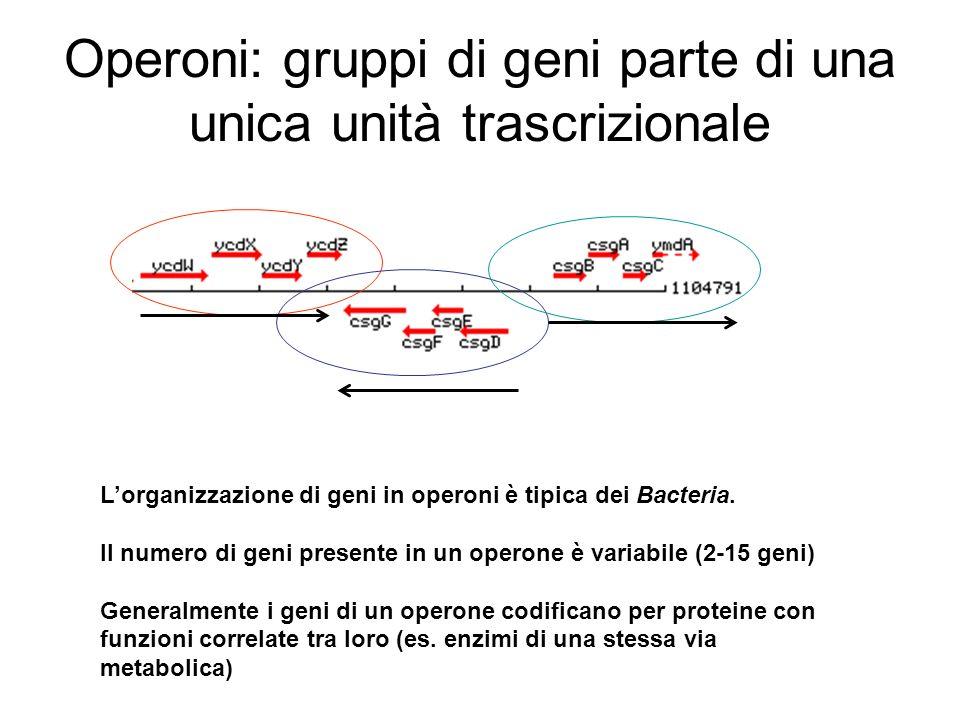 Operoni: gruppi di geni parte di una unica unità trascrizionale