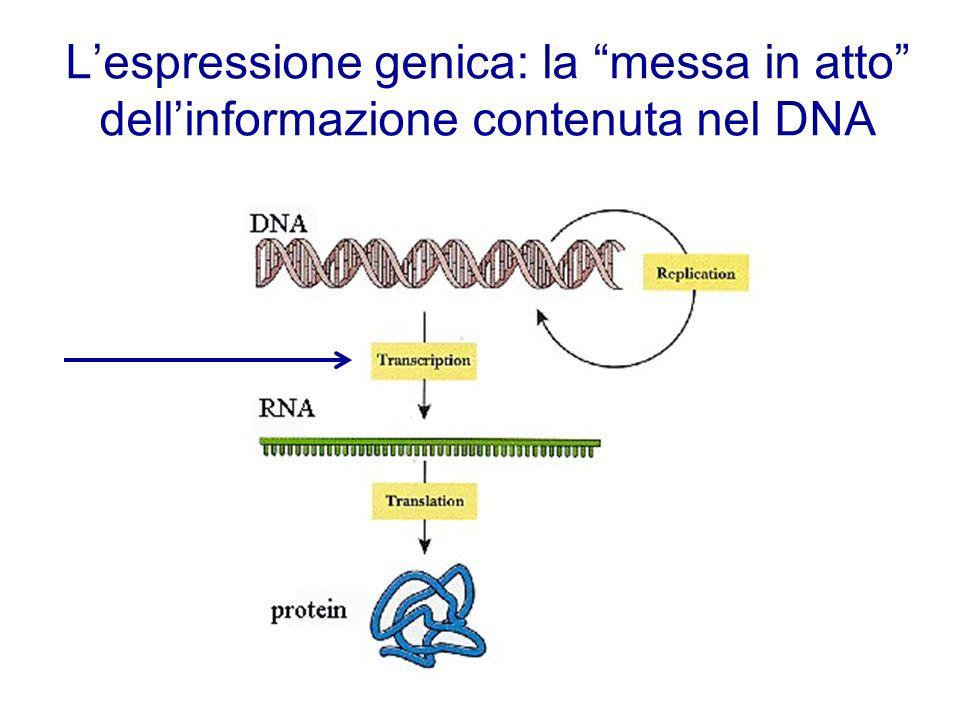 L'espressione genica: la messa in atto dell'informazione contenuta nel DNA