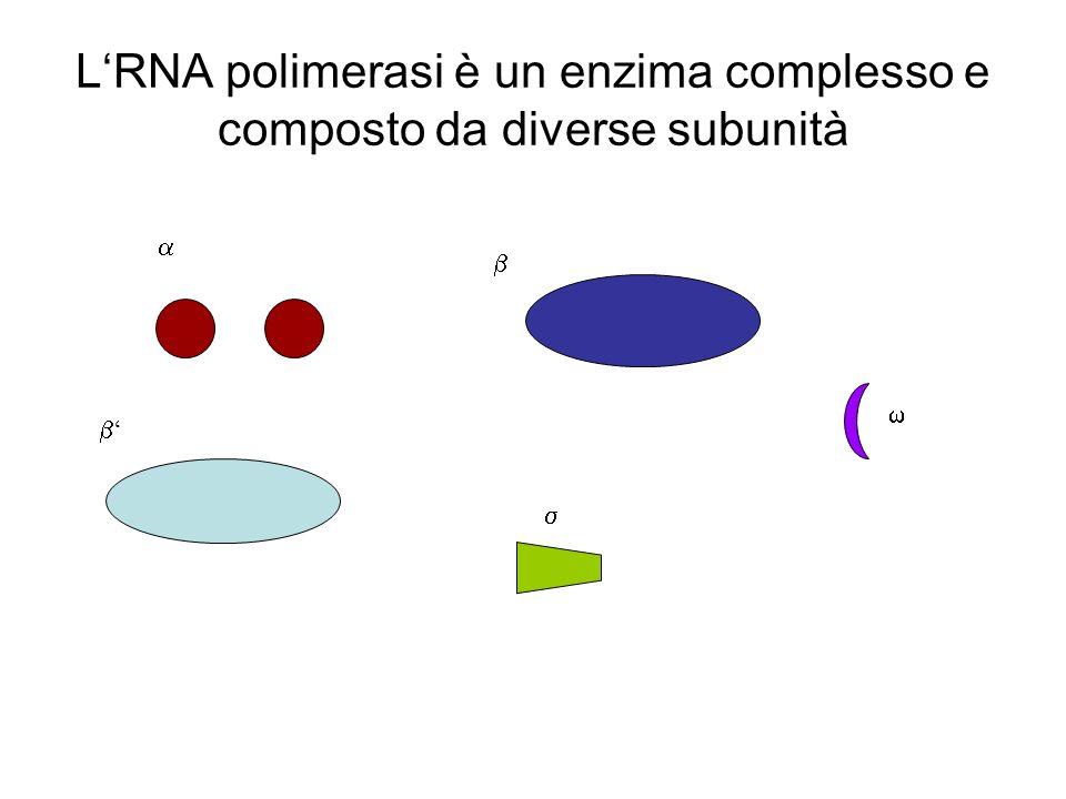 L'RNA polimerasi è un enzima complesso e composto da diverse subunità