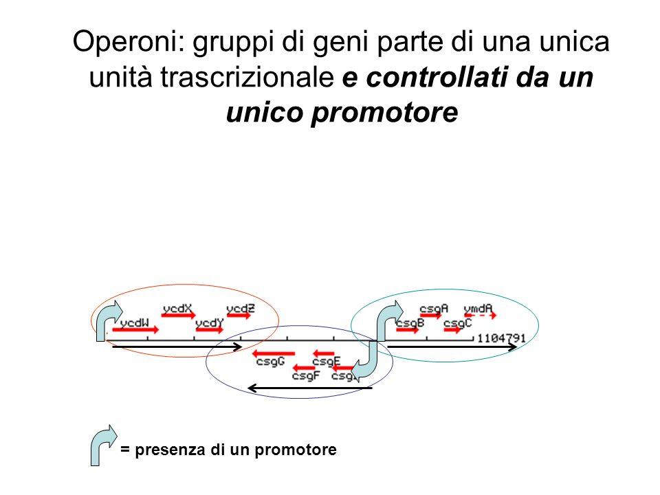 Operoni: gruppi di geni parte di una unica unità trascrizionale e controllati da un unico promotore