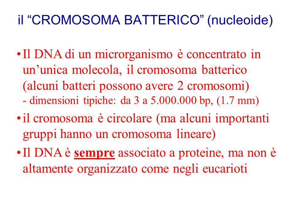 il CROMOSOMA BATTERICO (nucleoide)