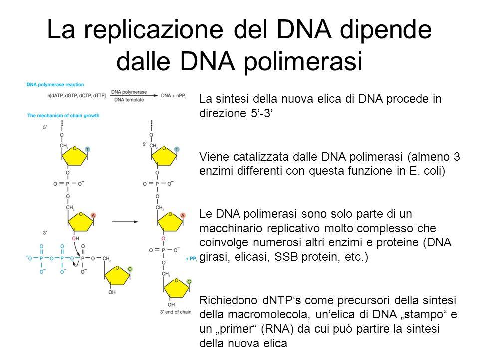 La replicazione del DNA dipende dalle DNA polimerasi