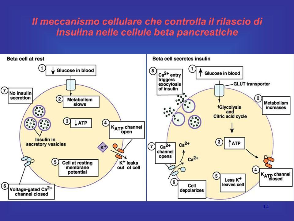 Il meccanismo cellulare che controlla il rilascio di insulina nelle cellule beta pancreatiche