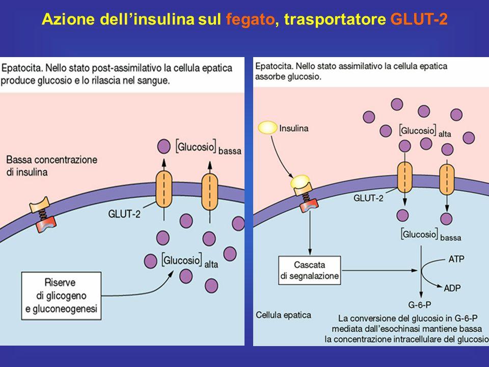 Azione dell'insulina sul fegato, trasportatore GLUT-2
