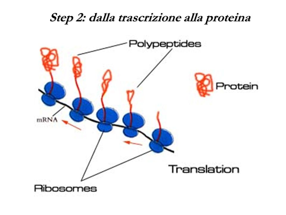 Step 2: dalla trascrizione alla proteina