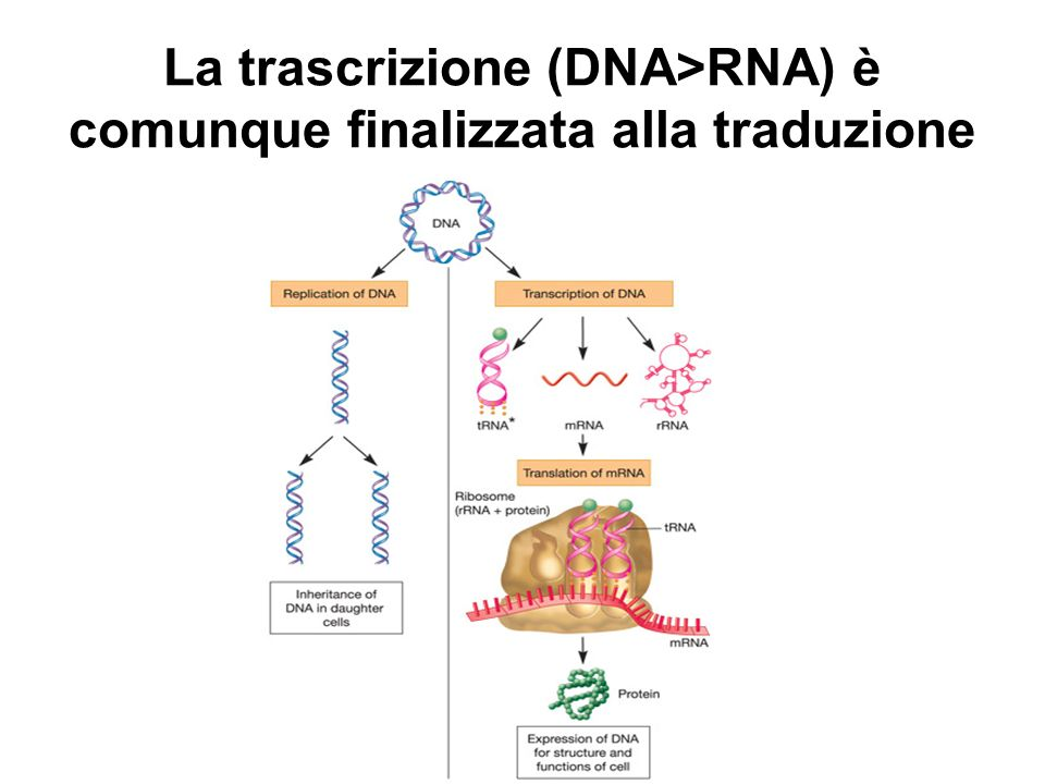 La trascrizione (DNA>RNA) è comunque finalizzata alla traduzione