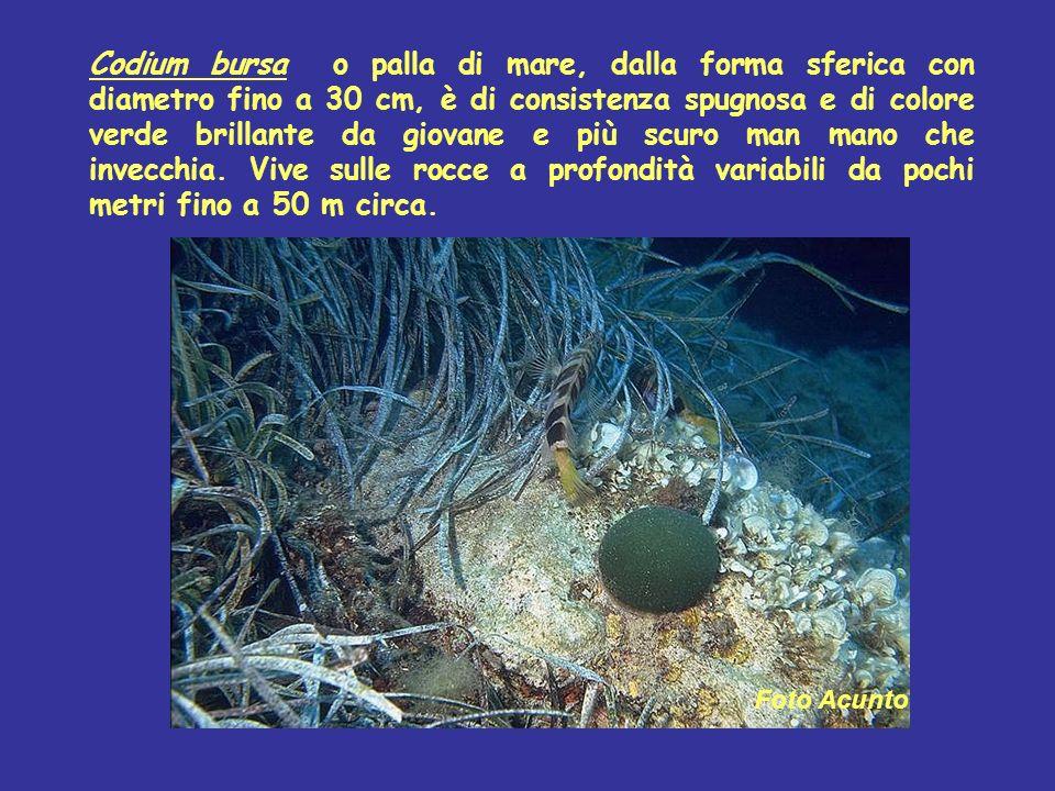 Codium bursa o palla di mare, dalla forma sferica con diametro fino a 30 cm, è di consistenza spugnosa e di colore verde brillante da giovane e più scuro man mano che invecchia. Vive sulle rocce a profondità variabili da pochi metri fino a 50 m circa.