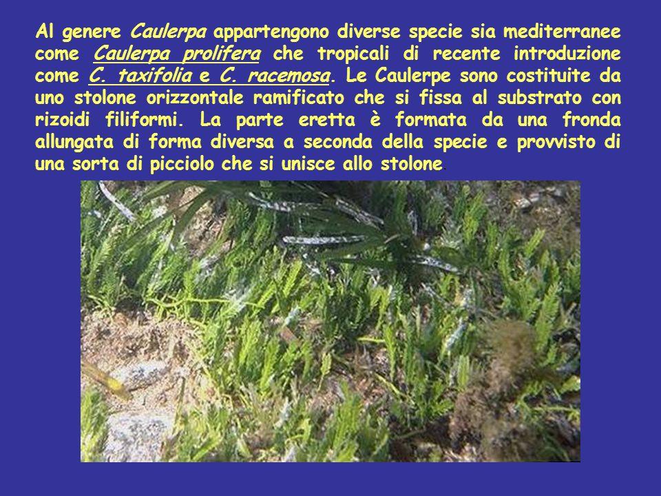 Al genere Caulerpa appartengono diverse specie sia mediterranee come Caulerpa prolifera che tropicali di recente introduzione come C. taxifolia e C. racemosa. Le Caulerpe sono costituite da uno stolone orizzontale ramificato che si fissa al substrato con rizoidi filiformi. La parte eretta è formata da una fronda allungata di forma diversa a seconda della specie e provvisto di una sorta di picciolo che si unisce allo stolone.