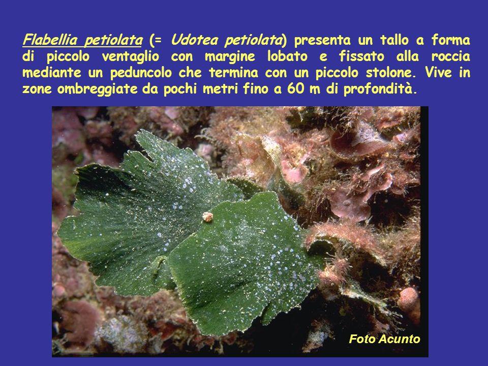 Flabellia petiolata (= Udotea petiolata) presenta un tallo a forma di piccolo ventaglio con margine lobato e fissato alla roccia mediante un peduncolo che termina con un piccolo stolone. Vive in zone ombreggiate da pochi metri fino a 60 m di profondità.