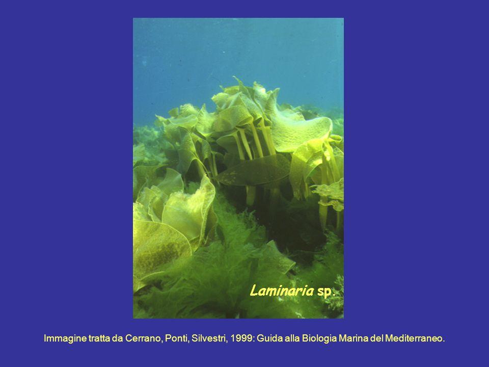 Laminaria sp.
