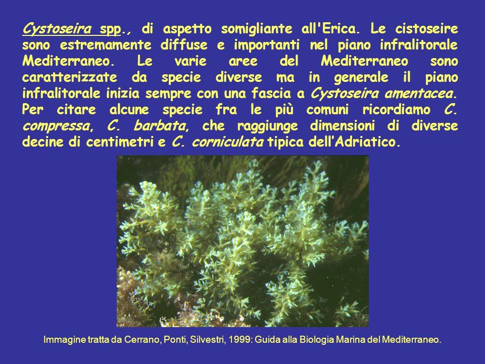 Cystoseira spp. , di aspetto somigliante all Erica