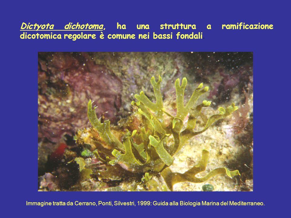 Dictyota dichotoma, ha una struttura a ramificazione dicotomica regolare è comune nei bassi fondali.