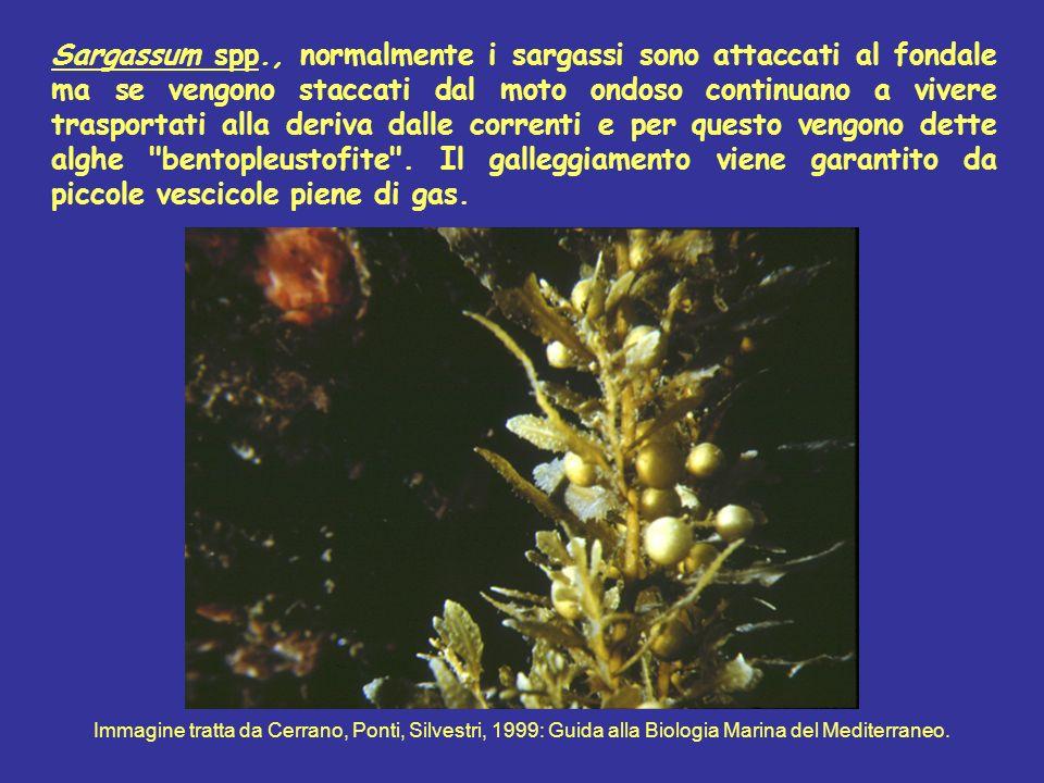 Sargassum spp., normalmente i sargassi sono attaccati al fondale ma se vengono staccati dal moto ondoso continuano a vivere trasportati alla deriva dalle correnti e per questo vengono dette alghe bentopleustofite . Il galleggiamento viene garantito da piccole vescicole piene di gas.