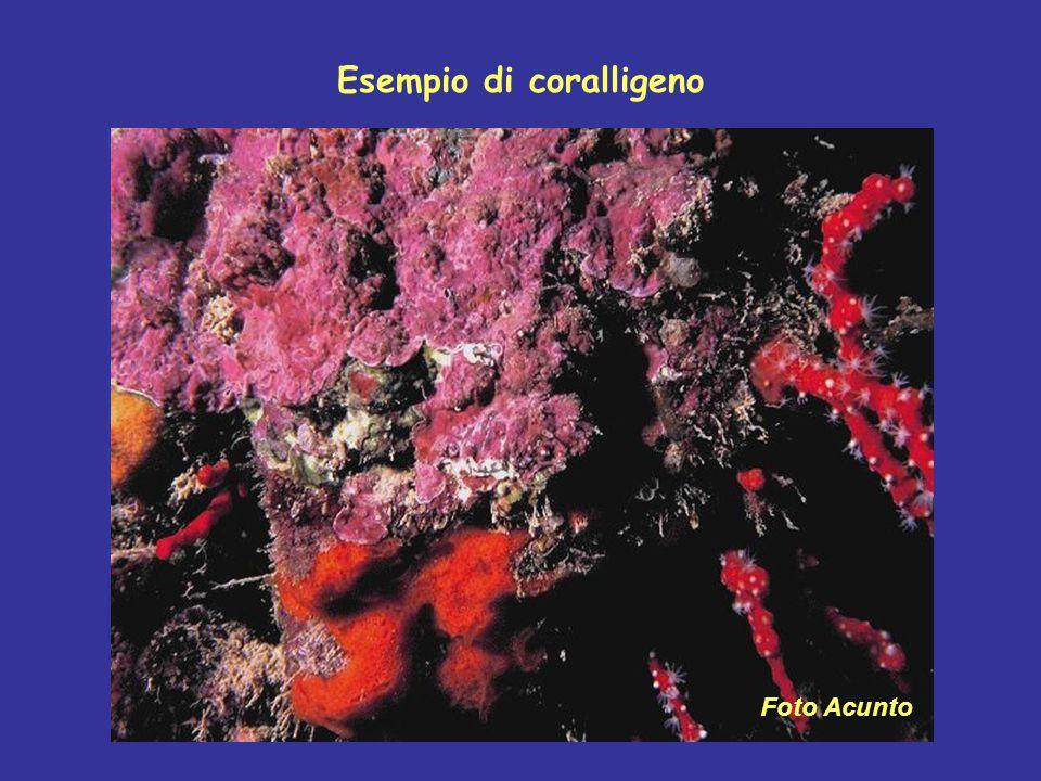 Esempio di coralligeno