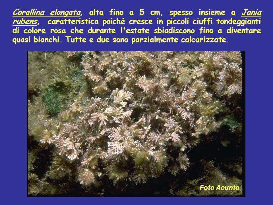 Corallina elongata, alta fino a 5 cm, spesso insieme a Jania rubens, caratteristica poiché cresce in piccoli ciuffi tondeggianti di colore rosa che durante l estate sbiadiscono fino a diventare quasi bianchi. Tutte e due sono parzialmente calcarizzate.