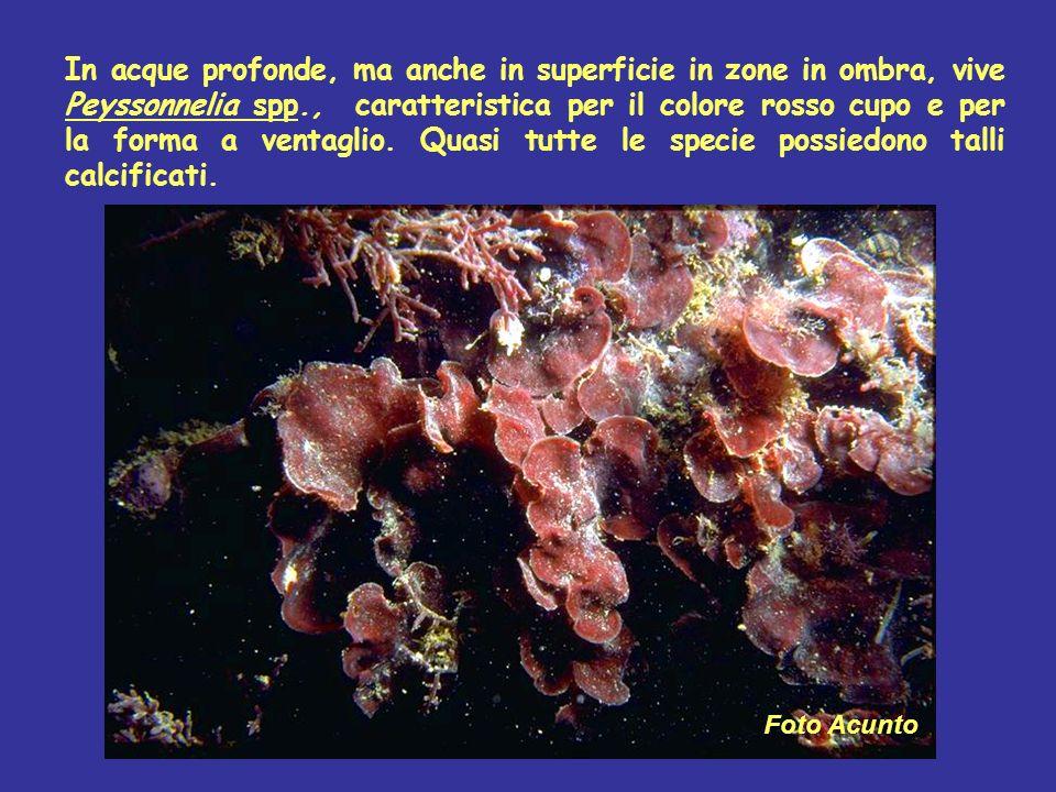 In acque profonde, ma anche in superficie in zone in ombra, vive Peyssonnelia spp., caratteristica per il colore rosso cupo e per la forma a ventaglio. Quasi tutte le specie possiedono talli calcificati.