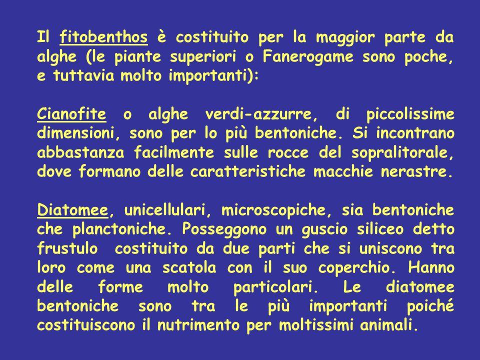 Il fitobenthos è costituito per la maggior parte da alghe (le piante superiori o Fanerogame sono poche, e tuttavia molto importanti):