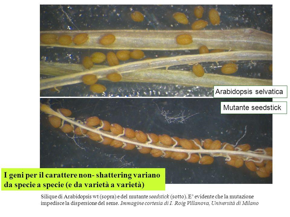 Arabidopsis selvatica