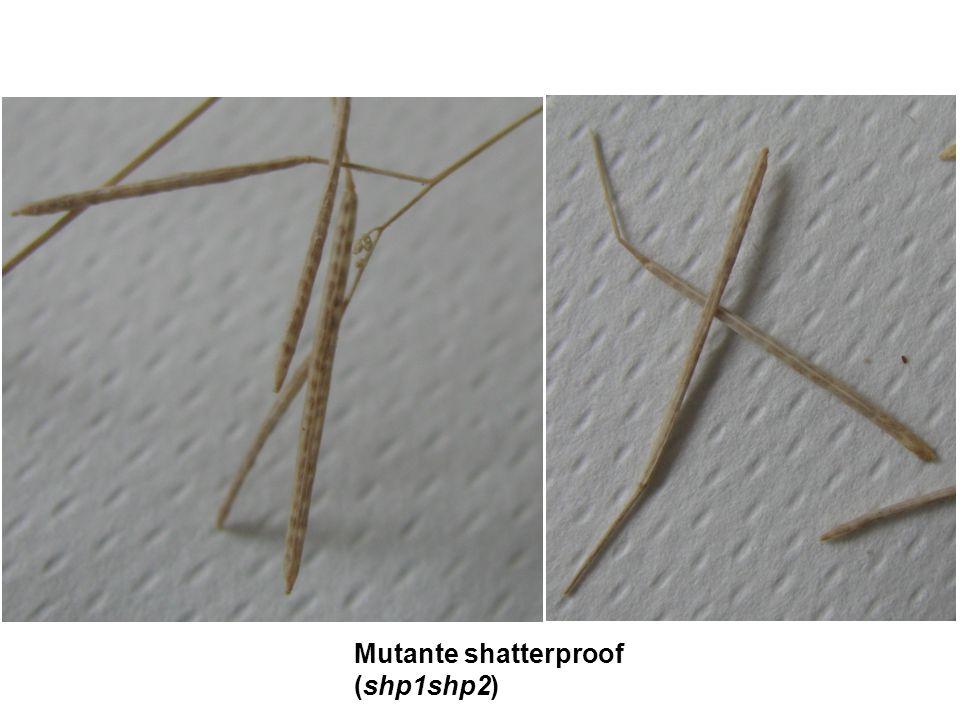 Mutante shatterproof (shp1shp2)