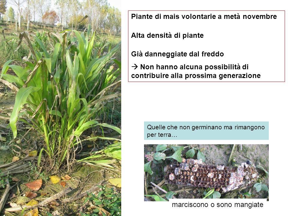 Piante di mais volontarie a metà novembre Alta densità di piante