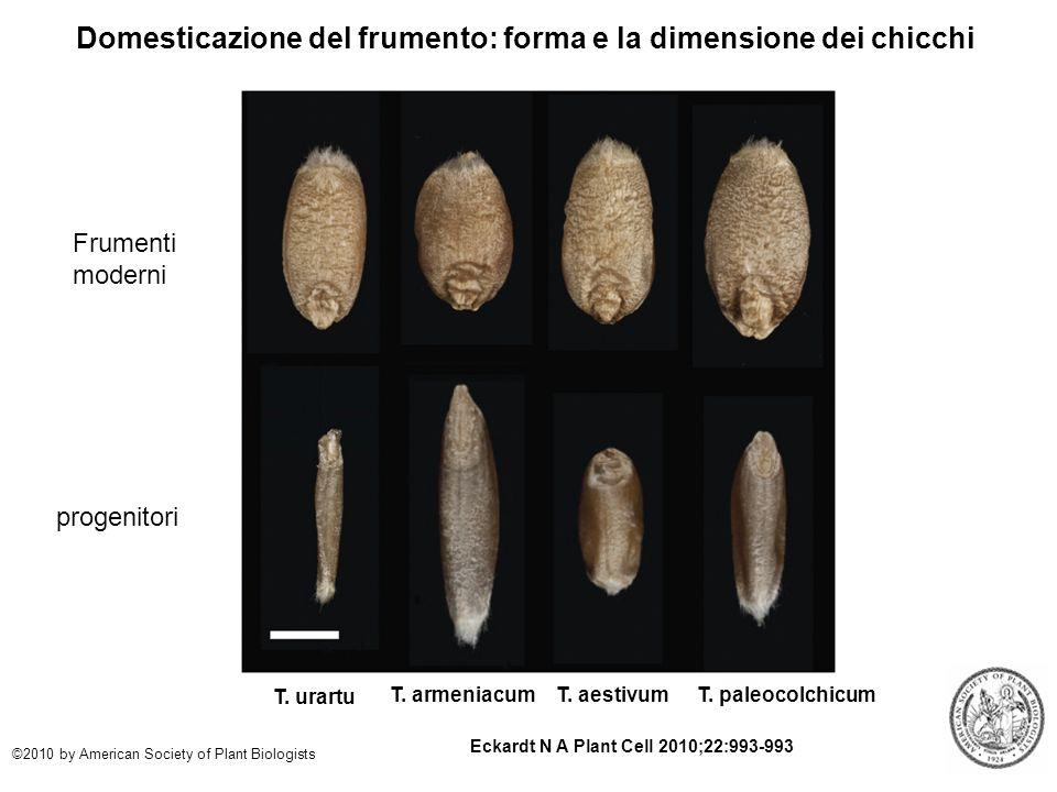 Domesticazione del frumento: forma e la dimensione dei chicchi