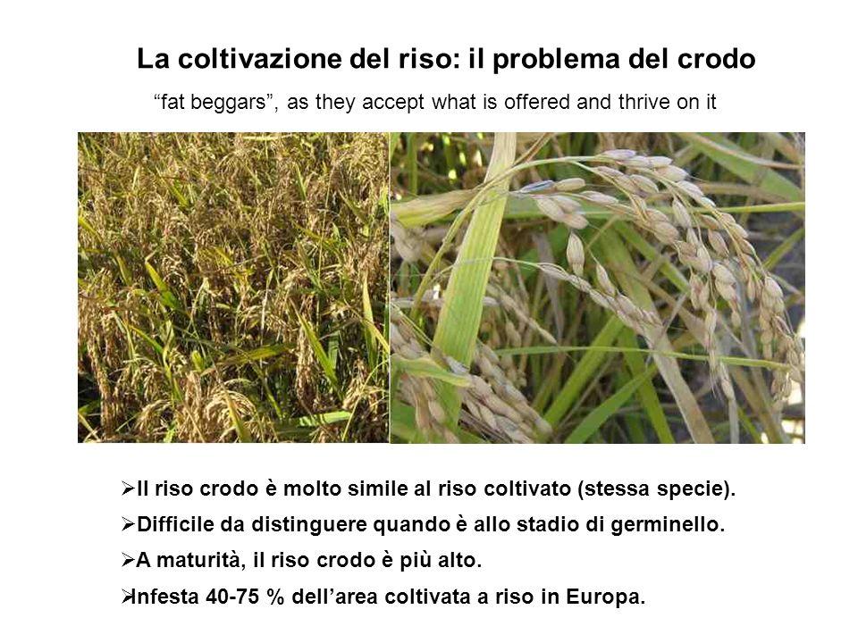 La coltivazione del riso: il problema del crodo