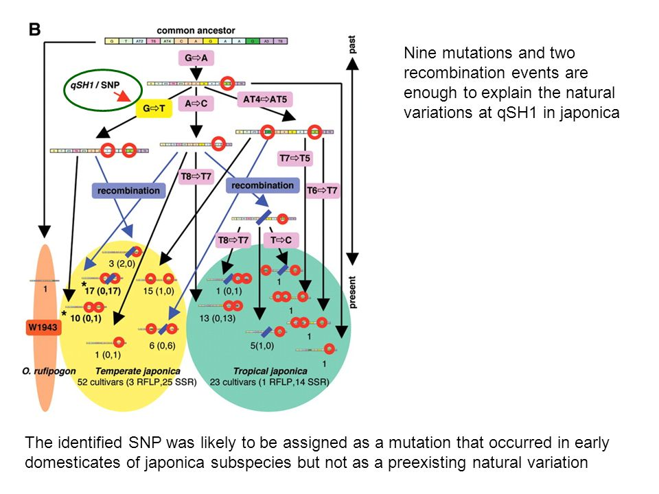Nine mutations and two recombination events are enough to explain the natural variations at qSH1 in japonica