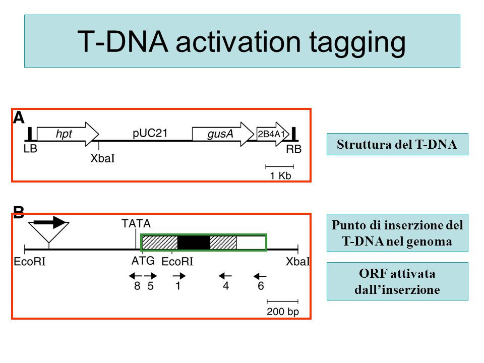 T-DNA activation tagging