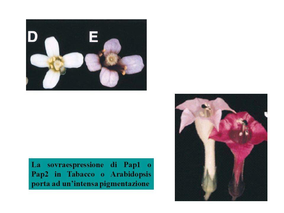 La sovraespressione di Pap1 o Pap2 in Tabacco o Arabidopsis porta ad un'intensa pigmentazione