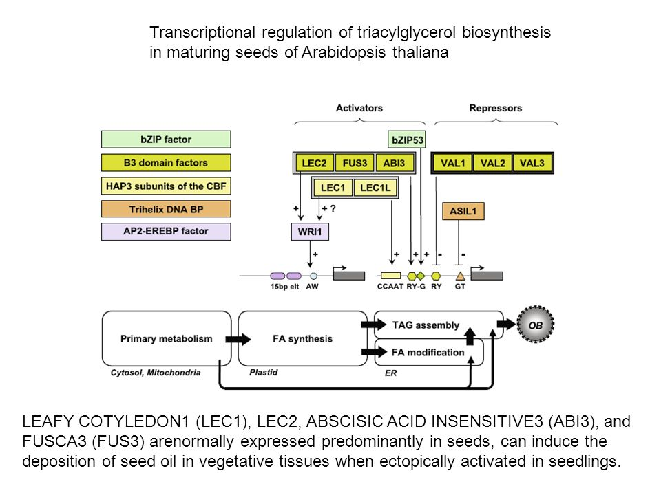 Transcriptional regulation of triacylglycerol biosynthesis in maturing seeds of Arabidopsis thaliana