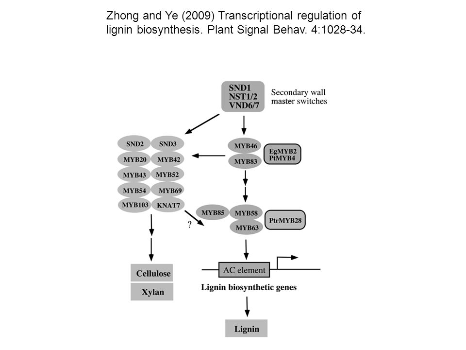 Zhong and Ye (2009) Transcriptional regulation of lignin biosynthesis