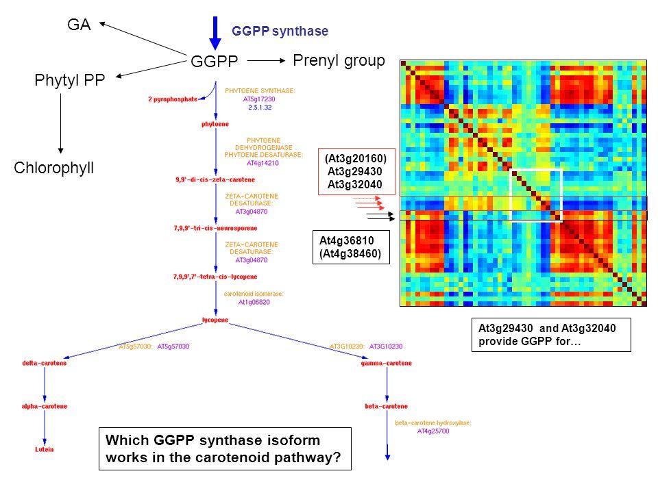 GA GGPP Prenyl group Phytyl PP Chlorophyll