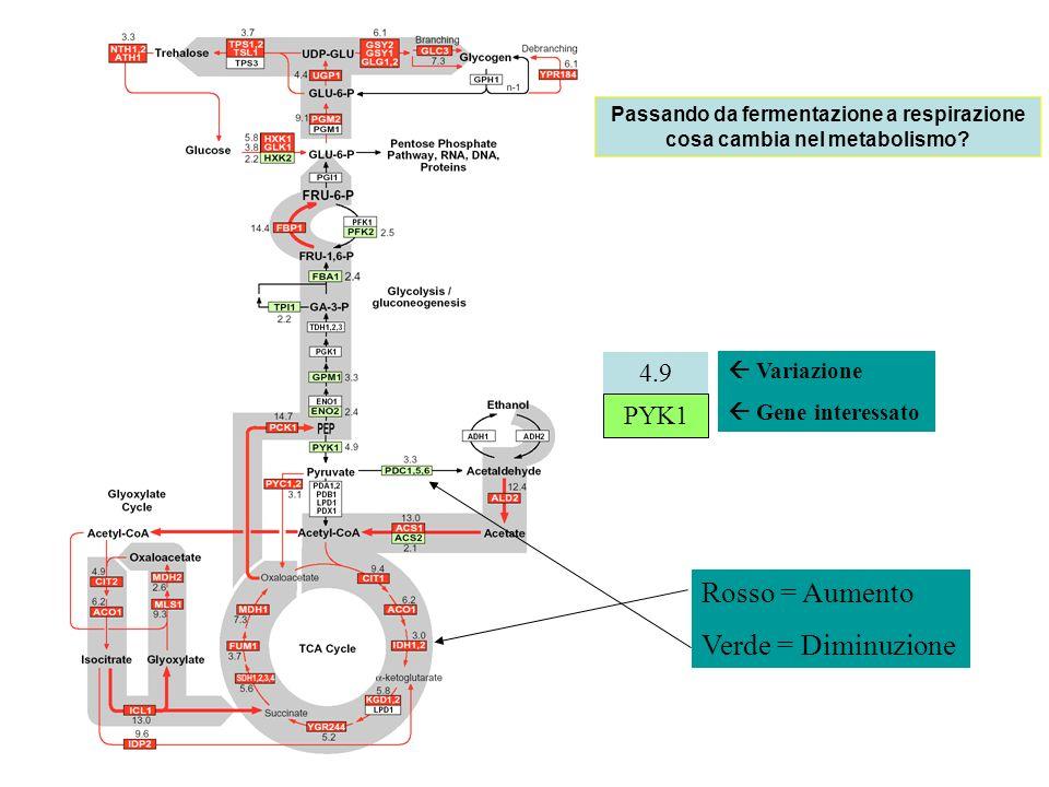 Passando da fermentazione a respirazione cosa cambia nel metabolismo