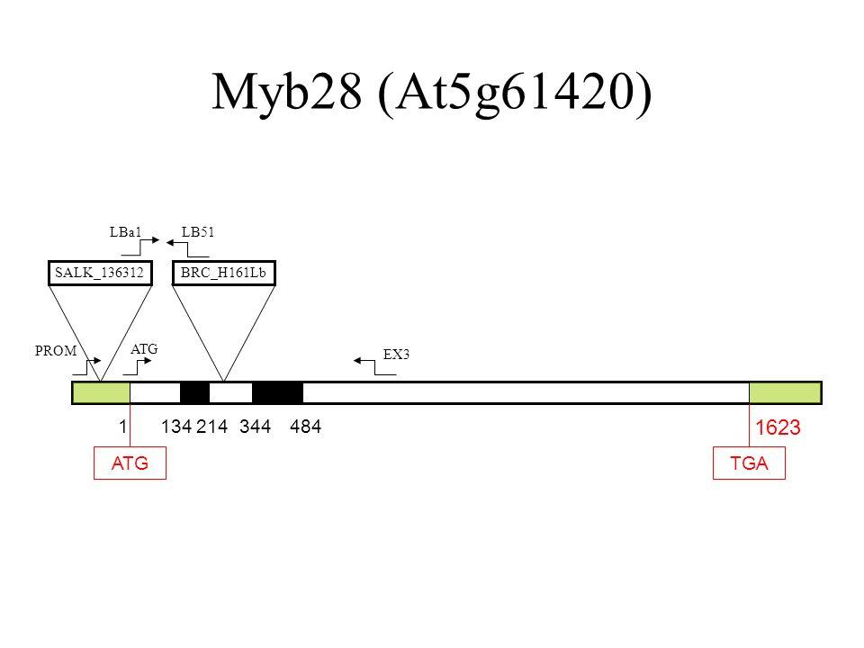 Myb28 (At5g61420) 1623 1 134 214 344 484 ATG TGA LBa1 LB51 SALK_136312