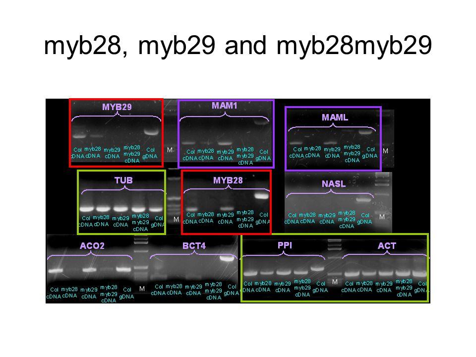 myb28, myb29 and myb28myb29