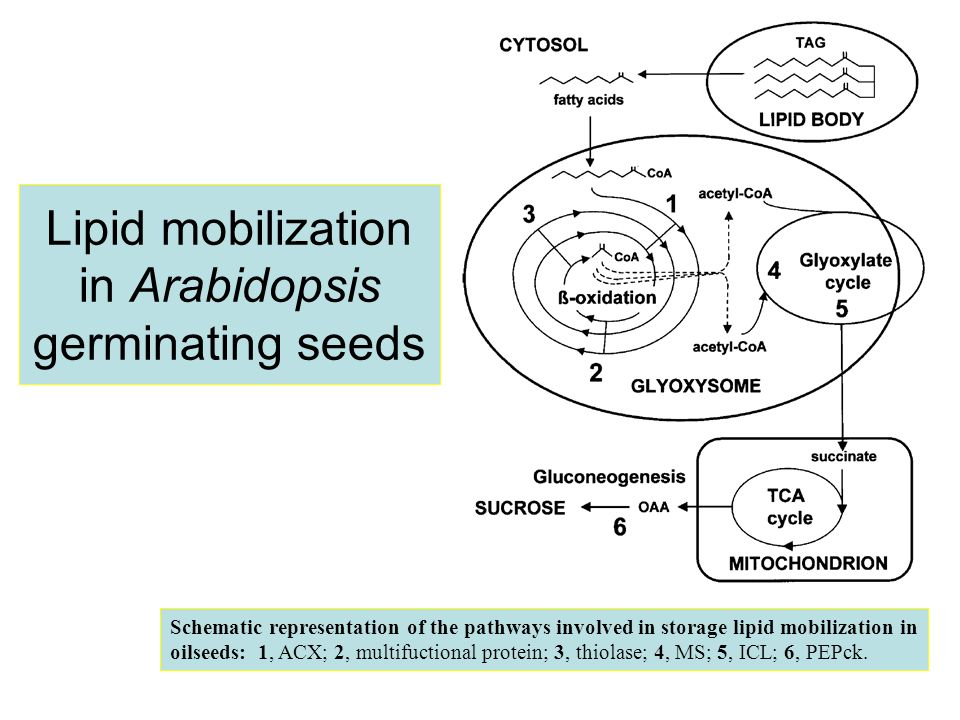Lipid mobilization in Arabidopsis germinating seeds